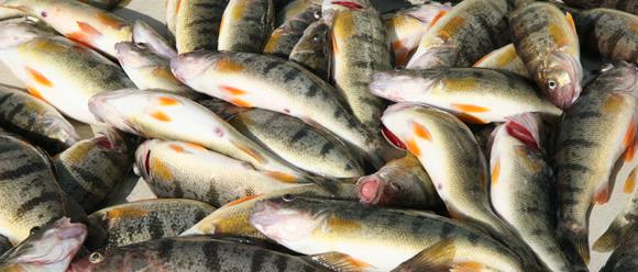 Perch confusion charters for Perch fishing michigan